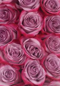 Lavender/Deep Purple Roses Available in Half Dozen, Dozen and Two Dozen