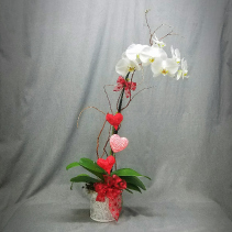 LCF-VALENTINES ORCHID PLANT ORCHID PLANT