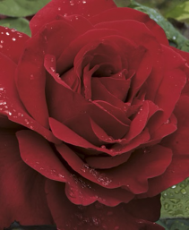 Legends™ 5 gallon - Hybrid Tea