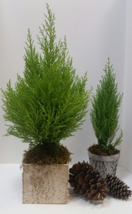 Lemon Cypress Evegreen Plant