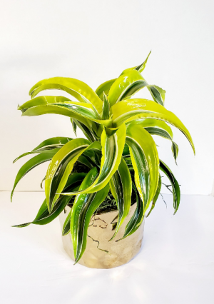 Lemon Lime Dracaena  in Vacaville, CA | The Red Anthurium