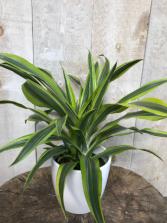 Lemon Lime Dracaena Plant