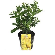 Lemon Tree Patio Planter