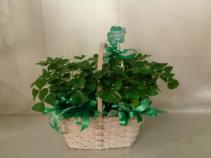 Leprechaun Garden Plant