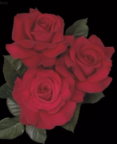 Let Freedom Ring™ 5 gallon - Hybrid Tea