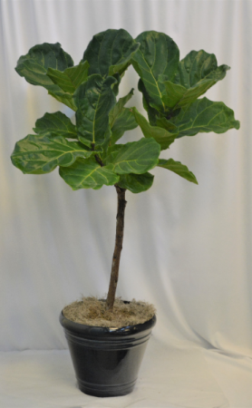 Lg Fiddle Leaf Plant/Tree Lg Green Plant