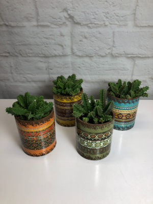 Life-Saver Cactus in Fiesta Pot Rare & Unusual Plant  in South Milwaukee, WI | PARKWAY FLORAL INC.