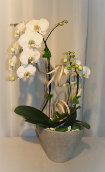 LIGHT BREEZE White Orchid planter