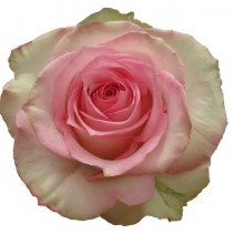 Light Pink Rose Classic Roses Color Option