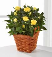 Lighthearted Moments Mini Rose Plant .WGPS21-N