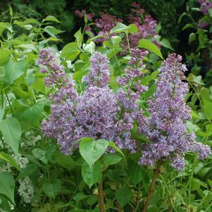 Lilac Bush Outdoor Plants