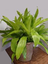 Limelight Dracaena House Plant