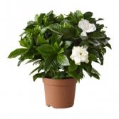 Live Gardenia Plant
