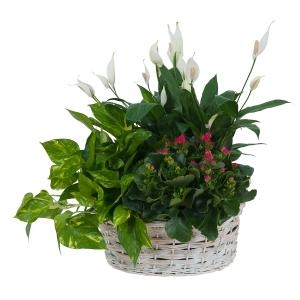 Living Garden Plant Basket  in Kannapolis, NC | MIDWAY FLORIST OF KANNAPOLIS
