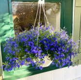 Lobelia Hanging Basket