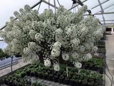 Plant - Hanging Baskets Full to Part Sun (Lobularia is pictured)