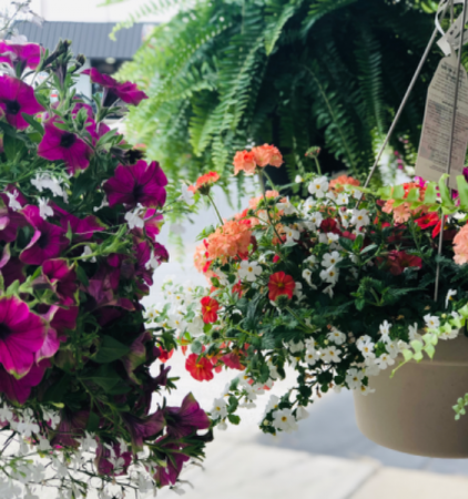 """Locally Grown Blooming Baskets 12"""" Hanging Baskets"""