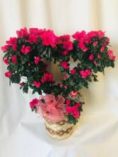 Love Those Azaleas! Blooming Plant