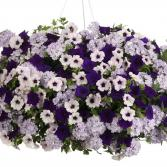 "Lovely Lavendar 12"" Hanging Basket Annual Mixture with Petunias and Verbenas"