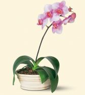 Lovely Lavender Phalaenopsis Orchid