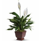 Lovely One Peace Lilly