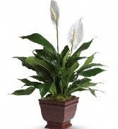 Lovely One Peace Lily Plant  T272-1A