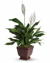 Lovely One Spathiphyllum T272