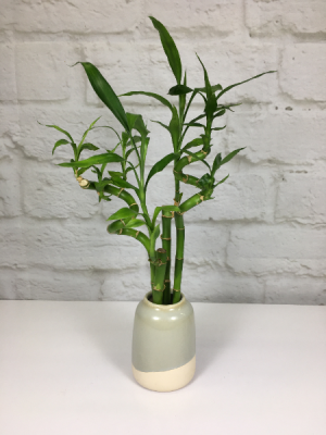 Lucky Bamboo   in South Milwaukee, WI | PARKWAY FLORAL INC.
