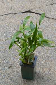 "Lucky Bamboo Ceramic Container 13"" high"