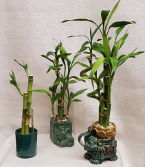 Lucky Bamboo in Jade Pot Plant