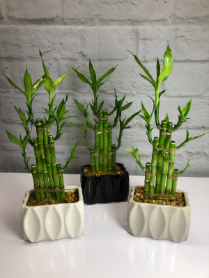 Lucky Bamboo in Neutral Pottery *** Local Delivery Only *** in South Milwaukee, WI   PARKWAY FLORAL INC.