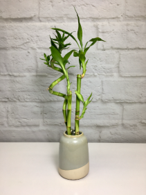 Lucky Bamboo  in Pottery