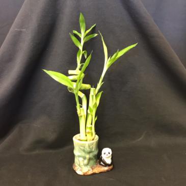 Lucky Bamboo Panda 3/1 Plant