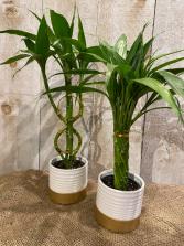 Lucky Bamboo  plant 4 inch diameter pot