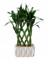 "Lucky Bamboo Plant *Air Purifier"""