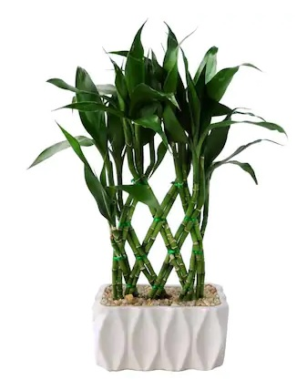 Lucky Bamboo Plant *Air Purifier""