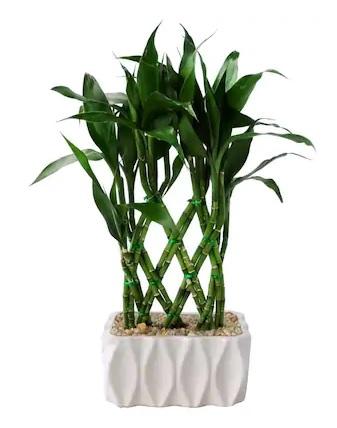 Lucky Bamboo Plant *Air Purifier