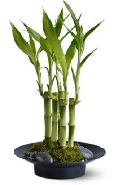 Lucky Bamboo Plants Plant In Los Angeles Ca My Bella Flower