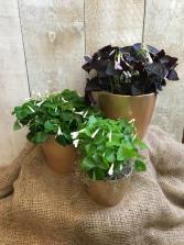 Lucky Shamrocks in Pot of Gold - Oxalis Plants