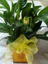 "6"" Peace lily in a nice Tin container with bow and cute watering can pic!(CONTAINER COLOR MAY VARY)"