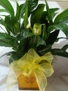 """6"""" Peace lily in a nice Tin container with bow and cute BUTTERFLY pic!(CONTAINER COLOR MAY VARY)"""