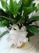 "Large 8"" Peace Lily in wicker basket with large  bow."
