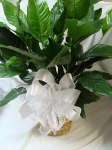"""Large 8"""" Peace Lily in wicker basket with large  bow."""