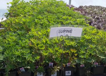 Lupine Perennial - Full sun