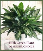 Lush Green Plant  Designer's Choice