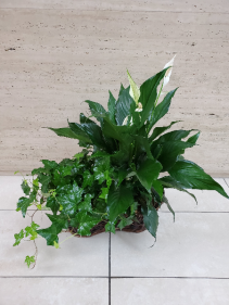 Lush Green Plant  Double Basket