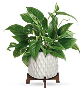 Lush Leaves Pothos - 081 Green Plant