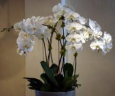 Luxe Phalaenopsis Orchid Planter