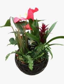 Luxurious anthurium  Tropical dish garden