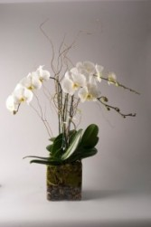 Luxurious Orchid Plant in Teaneck, New Jersey | Teaneck Flower Shop (A.A.A.A.A.)